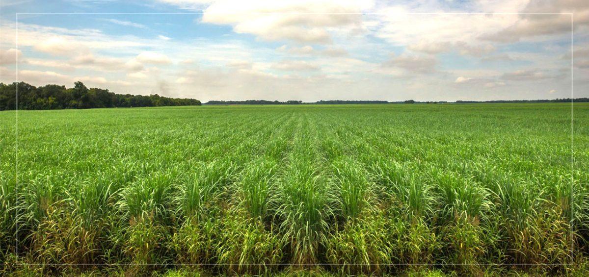 41-Eswatini-sugar-green-penresa